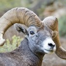 Desert Bighorn Sheep, Bright Angel Trail, Grand Canyon National Park