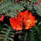 Leaf Amongst Ferns
