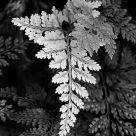 Hare's Foot Fern