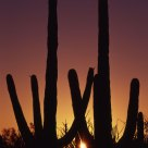 Sunset between two saguaro cactus, Organ Pipe Cactus National Monument