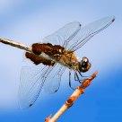 Dragenfly