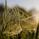 Pearled Web