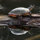 Turtle Twice Seen