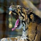 Aren't Clouded Leopards Adorable?