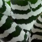 Zebra plant