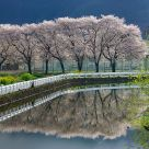 Reflection of cherry Blossoms