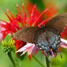 Eastern Tiger Swallowtail Black - Form Female