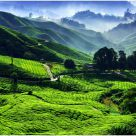 Morning Scenery of Tea Plantation