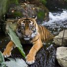 Tiger bathing