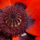 Red poppy / Pavot rouge