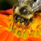 Drung Bee / Abeille soule de pollen