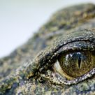 The Crocodile's Eye