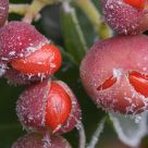 A Seasonal Delicacy - Frosted Berries
