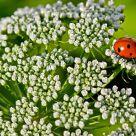 Ladybug on flower cloud / Coccinelle sur un nuage de fleurs