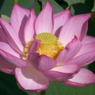 lotus bloom