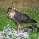 Sparrowhawk Kill