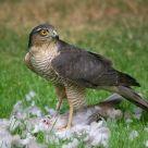 Sparrowhawk Kill