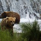 Grizzly Bears at Brooks River