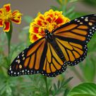 Monarch Butterfly - Female
