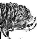 The Green Chrysanthemum
