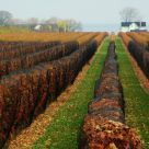 Ice Wine vineyards