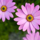Freshly Pink