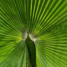 Palm leaf II