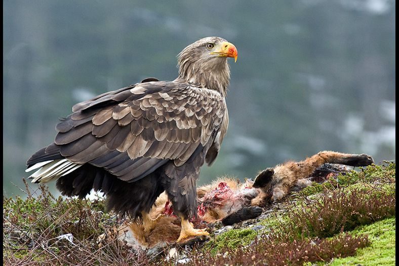 White-tailed eagle eating