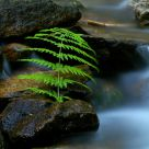 Rock Steady Fern