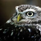 Owl portrait #1