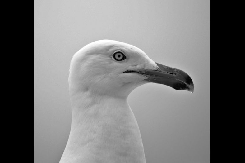 Profile of a Gull