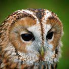 Owl portrait #2