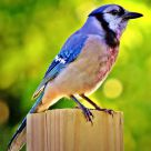 Wounded Bluejay