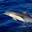 Wild Pacific Dolphin