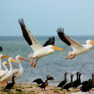 Pelican Ballet