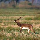 The Proud Blackbuck
