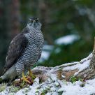 Goshawk on grouse