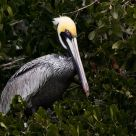 Tree Pelican