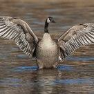 Canada Goose full wingflap