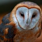 Tyto alba