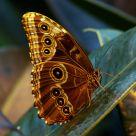 }|{ Lepidoptera