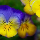 Psychedelic Pansies