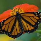Monarch on Tithonia