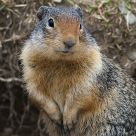 British Columbia Marmot