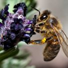 The bee and lavander