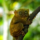 The Smiling Tarsier