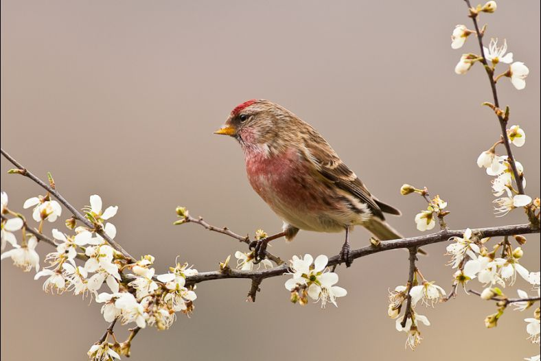 Common Redpoll on Hawthorn blossom