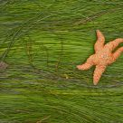 Seastar on Surfgrass
