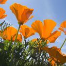 Poppies on a Windy Afternoon