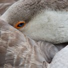 Domestic Greylag Goose